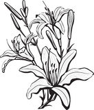 Sketch of lily flowers Royalty Free Stock Images