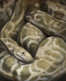 Sketch made with digital tablet of boa constrictor Royalty Free Stock Photography