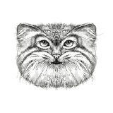 Sketch of Manul or Pallas cat head isolated on white background.  Royalty Free Stock Photography
