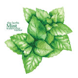Sketch of mint. Vector illustration. Royalty Free Stock Photo