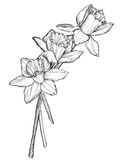 Sketch of narcissus flowers blossom Royalty Free Stock Photo