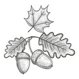 Sketch of an oak leaf and acorn Royalty Free Stock Photos