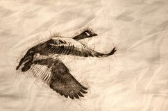 Sketch Of A Lone Canada Goose Flying In A Blue Sky Royalty Free Stock Photography