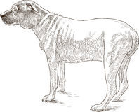 Sketch of an old dog Royalty Free Stock Photography