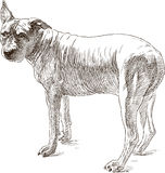 Sketch of an old pit bull terrier Stock Photos
