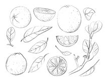 Sketch Oranges and Leaves Set Stock Photo