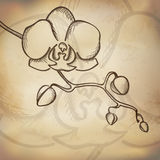 Sketch  orchid background Stock Image