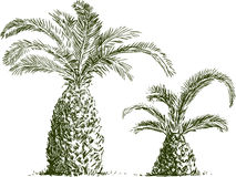 Sketch of palm trees Royalty Free Stock Image