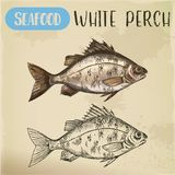 Sketch of perch or european perca. Fish seafood. European white perch sketch. Signboard with hand drawn silver bass, crappie, river seafood animal. Perca for Stock Photos