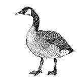 Sketch - pet - drake. Detailed sketch of poultry - drake Royalty Free Stock Images