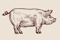 Sketch pig. Hand-drawn vector illustration Royalty Free Stock Photo