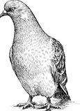 Sketch of a pigeon Royalty Free Stock Image