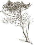 Sketch of a pine tree. Vector drawing of a little pine tree royalty free illustration