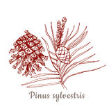 Sketch of pinus sylvestris cone and pine in red color on white background Stock Images