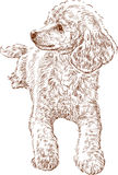 Sketch of poodle. Vector drawing of a cute young poodle vector illustration