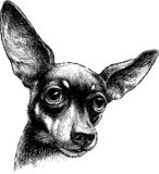 A sketch portrait of a cute lap dog. A vector drawing of  the head of a cute pet royalty free illustration