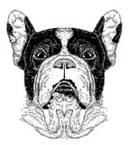 Sketch of portrait of French Bulldog (Black and white) Stock Photo