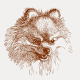 Sketch portrait of a lap dog. Vector image of the head of a cute dog vector illustration