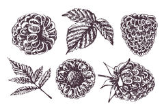 Sketch raspberry.Hand drawing vector illustration. Sketch raspberry.Illustration set of drawing raspberry. Can be used for cards, invitations, scrapbooking Stock Image