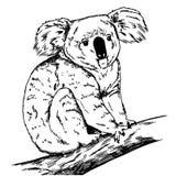 Sketch of realistic koala sitting on branch. Illustration of koala bear stock illustration