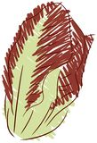 Sketch of Red chicory isolated Stock Photos