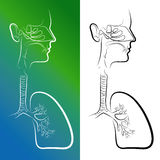 Sketch of Respiratory System Organs Royalty Free Stock Image