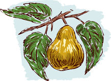 Sketch of a ripe pear. Vector illustration of a ripe pear on a branch Stock Photos
