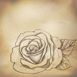 Sketch  rose background Royalty Free Stock Images