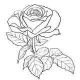 Sketch rose branch Royalty Free Stock Image
