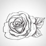 Sketch rose Royalty Free Stock Photo