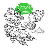 Sketch set of ginger Royalty Free Stock Photo