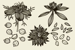 Sketch set of Nigella sativa flowers and leaves. Isolated on white background. Outline flowers are element for design. Hand drawn contour lines. Vector Stock Images