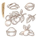 Sketch of shea elements. Vector set of branches, leaves, nuts and butter silhouettes. Realistic icons of organic plant are good for a logo, banner, card stock illustration