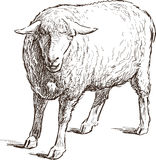 Sketch of a sheep Stock Images