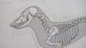 Skeleton plan of a dog. Sketch of a skeleton of a dog stock video