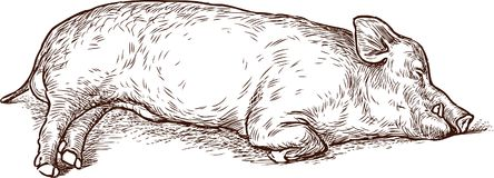 Sketch of a sleeping swine Stock Photo