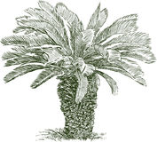 Sketch of a small palm tree Stock Photo