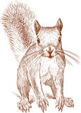Sketch of a small red squirrel Royalty Free Stock Photos