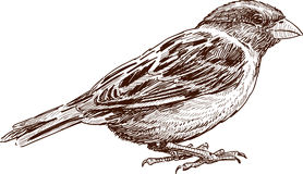 Sketch of  sparrow. Vector sketch of a little bird Royalty Free Stock Images