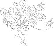 Sketch of Strawberry plant Royalty Free Stock Images