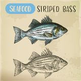Sketch of striper fish or atlantic striped bass. Seafood sketch of atlantic striped bass. Hand drawn striper fish, illustration of linesider, signboard with Royalty Free Stock Photos