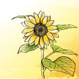 Sketch  sunflower background Stock Image