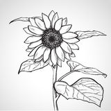 Sketch sunflower (Helianthus) Royalty Free Stock Images