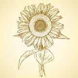 Sketch sunflower, vector vintage background Stock Photos