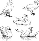 Sketch of a swans Stock Images
