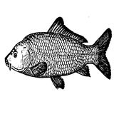 Sketch tattoo fish catfish. Detailed sketch realistic fish catfish - structure. Science aquatic science Stock Photos