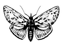 Sketch of tattoo insect butterfly Royalty Free Stock Images