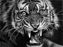 Sketch of tiger Stock Images