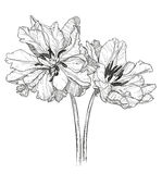 Sketch of tulips on a white background Stock Photo