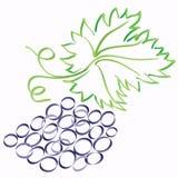 Sketch vector grape Stock Photography